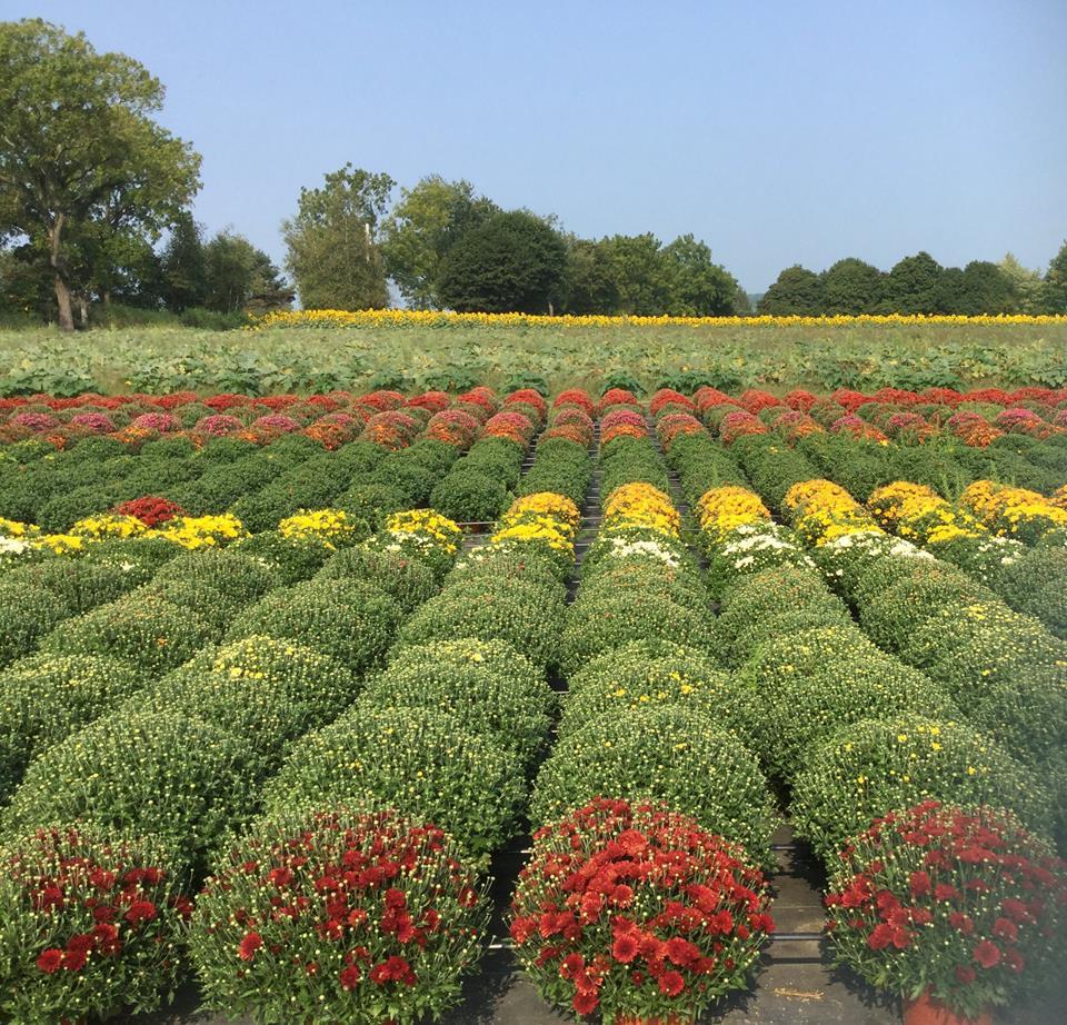 field of mums